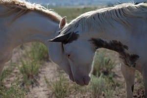 Horses Nuzzling